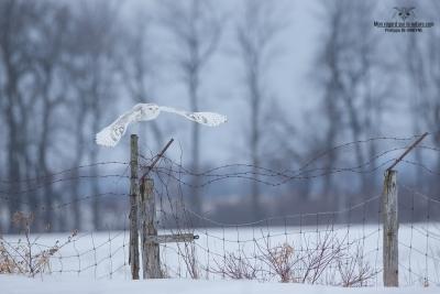 _DXP9849 Harfang des neiges