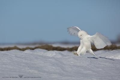 _HIL0273-Harfang des neiges
