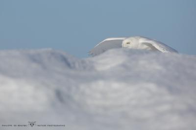 _HIL0339-Harfang des neiges