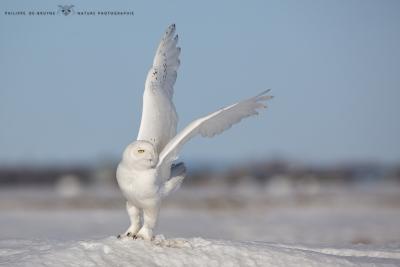 _HIL0540-Harfang des neiges