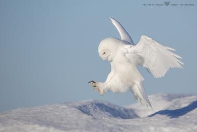 _HIL0624-Harfang des neiges