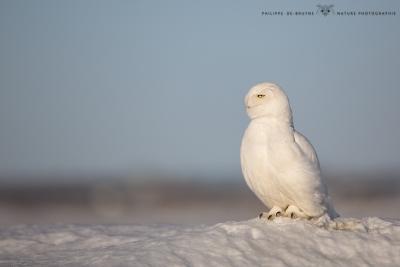 _HIL0898-Harfang des neiges