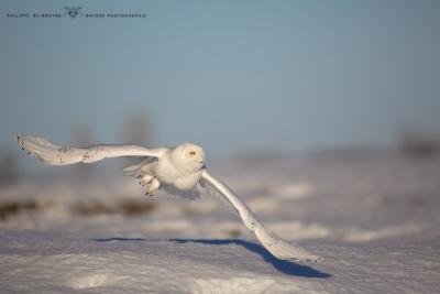 _HIL0985-Harfang des neiges
