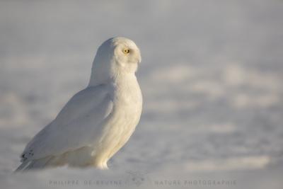 _HIL4496-Harfang des neiges mâle