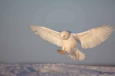 _HIL4990-Harfang des neiges