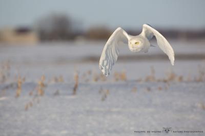 _HIL5524-Harfang des neiges
