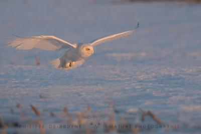 _HIL6002-Harfang des neiges
