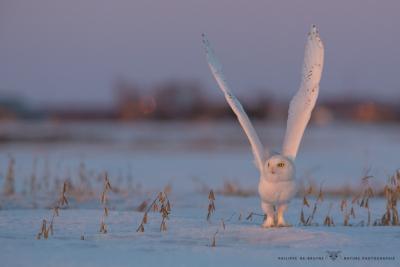 _HIL6137-Harfang des neiges