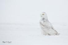 Harfang des neiges-2