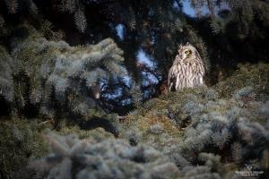 Hibou des marais-02I0109