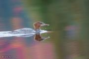 Grand harle femelle (2)