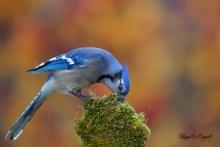 Geai bleu (1)