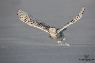 Harfang des neiges au décollage