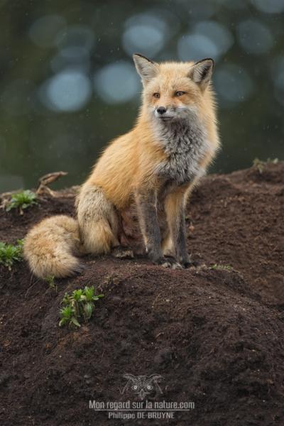 Portrait de renard sous la pluie