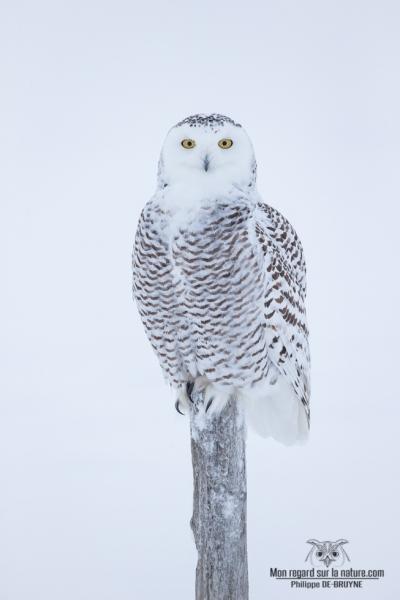 Portrait de harfang des neiges