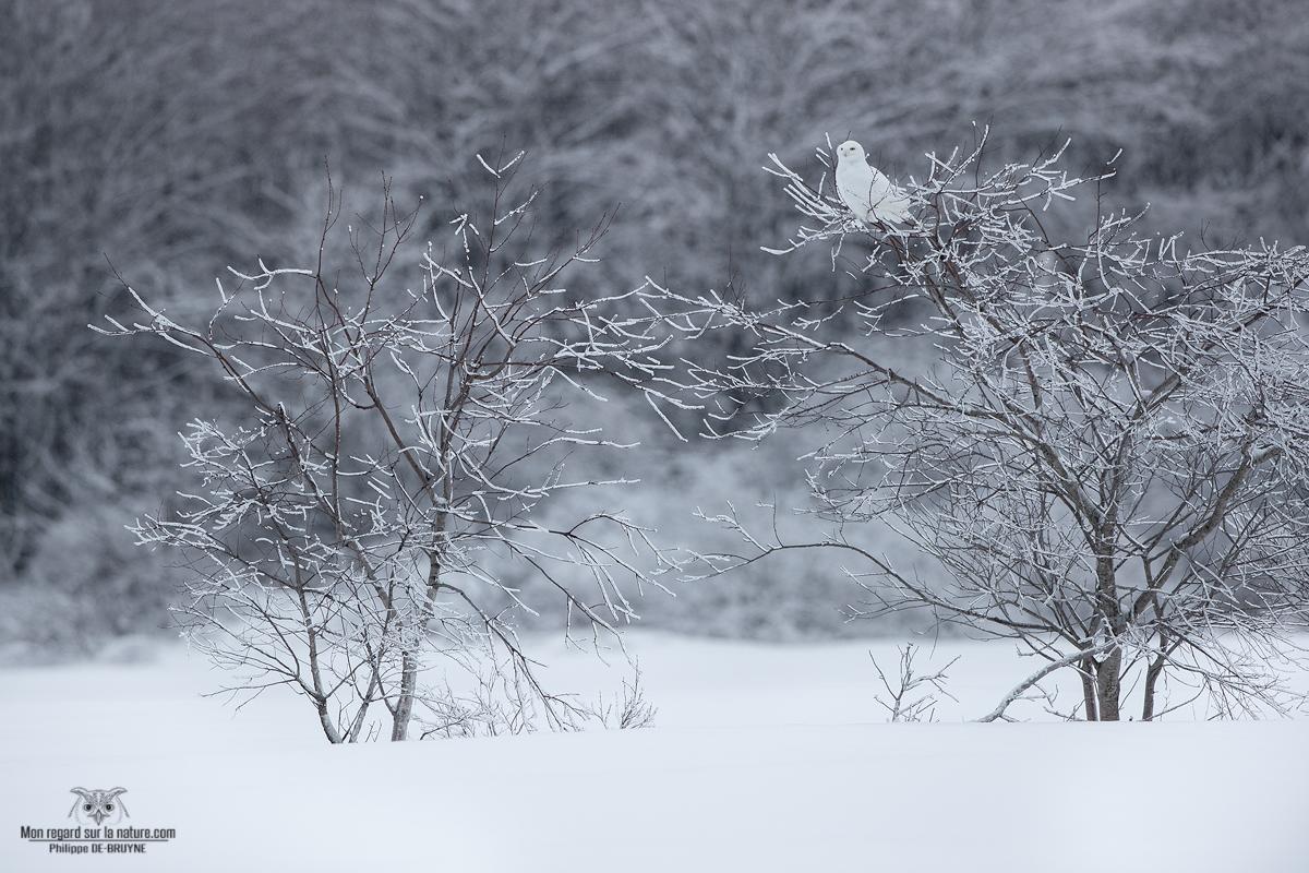 Harfang des neiges après un tempête de glace