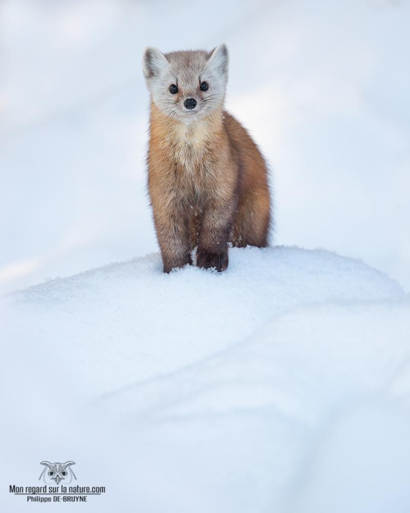 Portrait de Martre après une neige fraîche