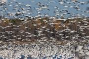 Oies des neiges (30)