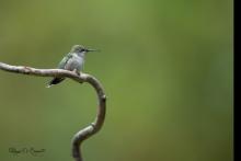 colibris !