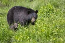 Maman ours avec son minuscule bébé !!