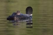 Plongeon huard (62)