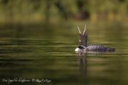 Plongeon huard (40)