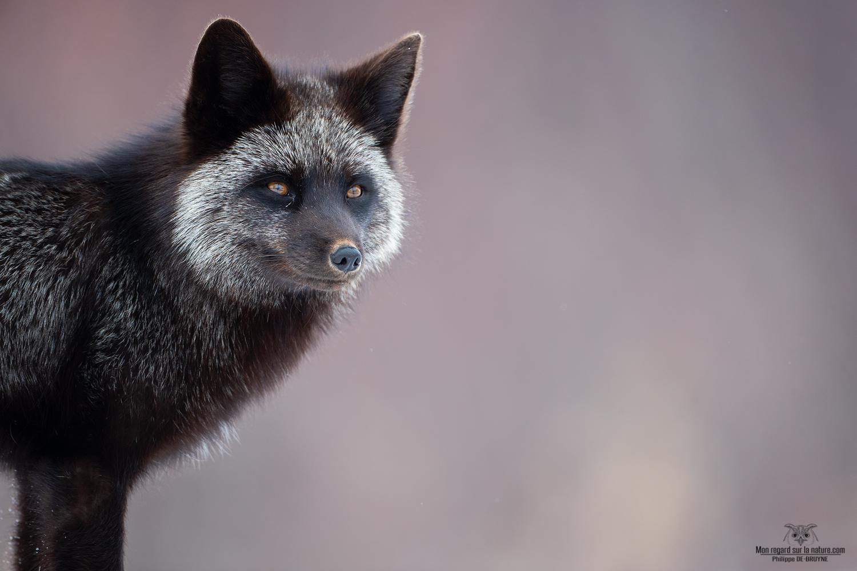 Portrait de renard argenté